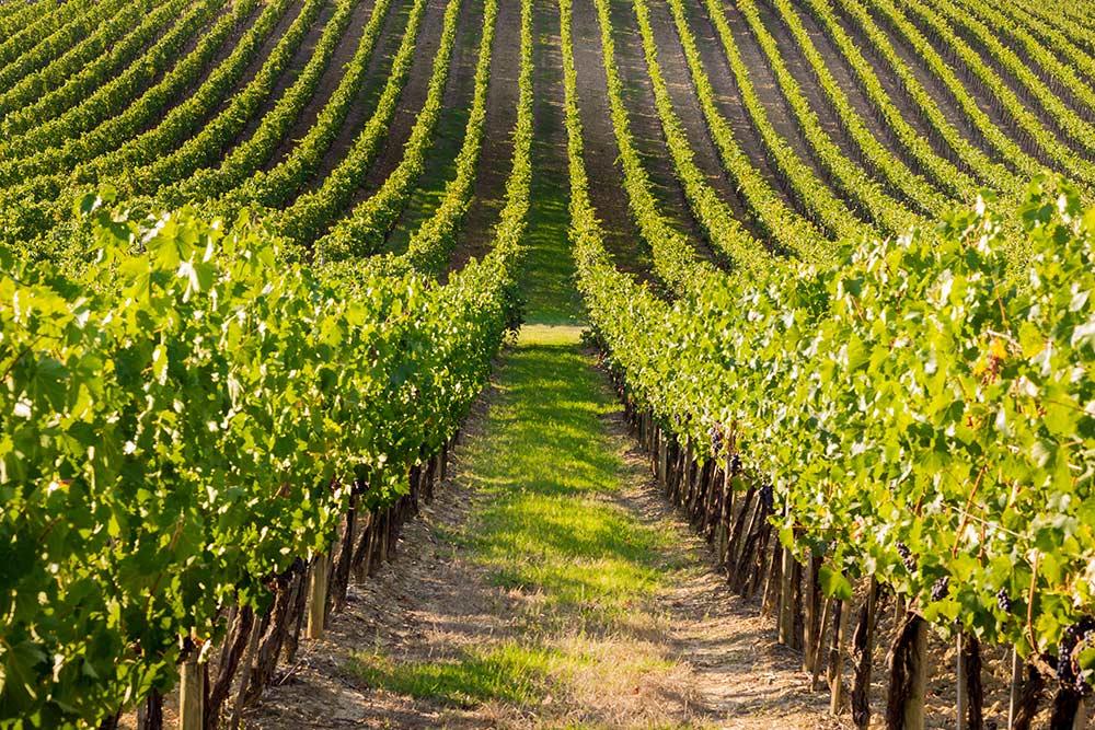 I grandi vini d'Italia: Fiano di Avellino